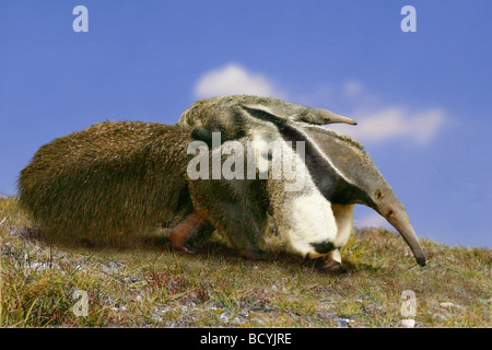Großer Ameisenbär (Myrmecophaga tridactyla). Mutter, die Jungen auf dem Rücken. Digitl verfassen - Stockfoto