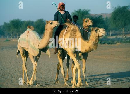 Ausbildung von racing Kamele, Vereinigte Arabische Emirate, Naher Osten - Stockfoto