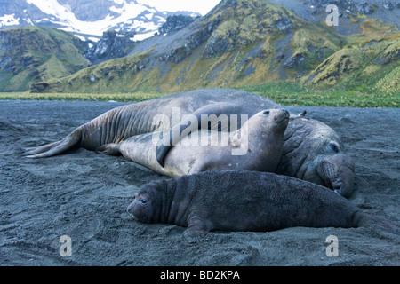 Südlichen See-Elefanten Mirounga Leonina Pup Beachmaster männlich Paarung Gold Hafen Hafen Südgeorgien antarktischen - Stockfoto
