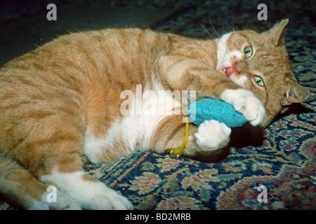Ingwer-Katze mit einem Spielzeug spielen