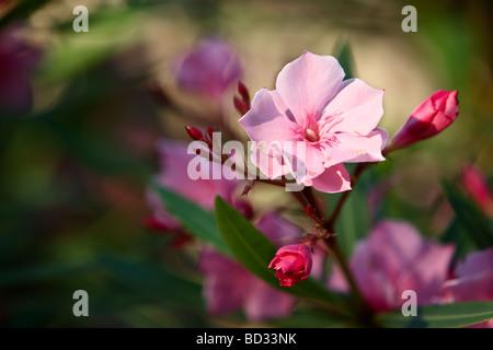 Blume, Ile de Porquerolles - Stockfoto
