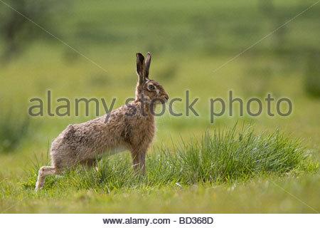 Feldhase Lepus Europaeus Lancashire UK - Stockfoto