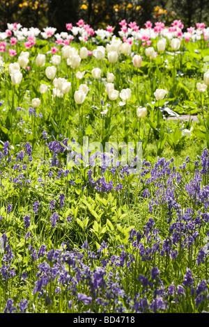 Tulpen und Glockenblumen in einem Blumengarten - Stockfoto