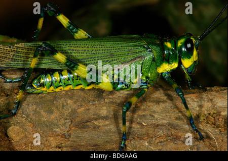 Gelb-gestreift Heuschrecke, Chromacris psittacus, im Regenwald am Cerro Pirre, Darien Nationalpark, Republik Panama. - Stockfoto