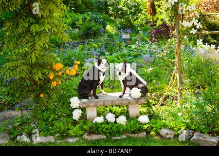 Boston Terrier Braut und Bräutigam - Stockfoto