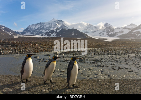 König Penguins Aptenodytes Patagonicus St. Andrews Bay South Georgia Antarktis - Stockfoto