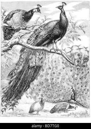 Pfau Pavo cristatus - Stockfoto