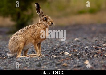 Feldhase - Lepus europaeus - Stockfoto