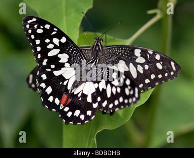 Karierte Schwalbenschwanz Schmetterlinge (Papilio Demoleus) - Stockfoto