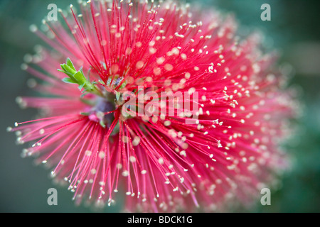 Crimson Bottlebrush Blumen - Stockfoto