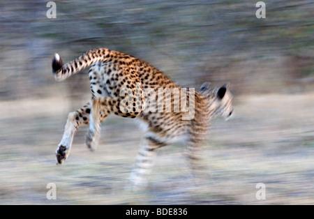 Erwachsene weibliche Gepard läuft, Krüger Nationalpark, Südafrika. - Stockfoto