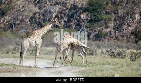 Drei männliche Giraffen der südafrikanischen Unterart Giraffa Giraffe Giraffa, zwei davon Einschnürung, Chobe NP, - Stockfoto
