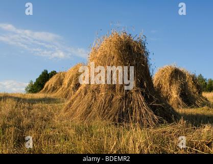 Feld, Weizen, sheats Stockfoto