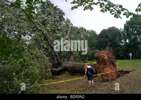 Eine Frau wird ein entwurzelter Baum im Central Park - Stockfoto