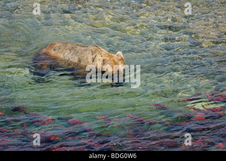 """Brown Bear """"oder"""" Grizzly Bär, Ursus Arctos Horribilis mit Unterwasser-Headhunting für Lachs - Stockfoto"""