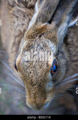 Feldhase (Lepus Europaeus) - Stockfoto