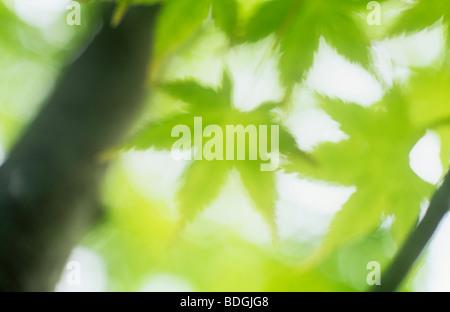 Klangschöne schließen lässt der Hintergrundbeleuchtung grün mit Zweigen der japanischen Ahorn oder Acer Palmatum - Stockfoto