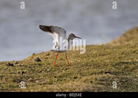 Rotschenkel (Tringa Totanus) gemeinsame Rotschenkel - Stockfoto