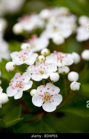 Weißdorn; Crategus Monogyna; Blüte - Stockfoto
