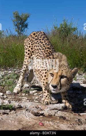 Weibliche Cheetah (Acinonyx Jubatus) in Gefangenschaft auf einer Wildfarm in Otjiwarongo, Namibia - Stockfoto