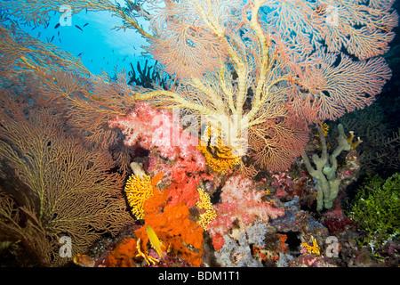 Einer hellen und bunten tropischen Riff-Szene mit Fans, weichen Korallen und Fische - Stockfoto