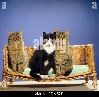 Drei Hauskatzen sitzen auf Sofa - zwei sind ein paar - Stockfoto