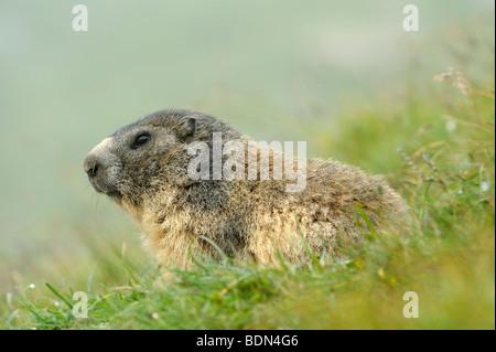 Alpen-Murmeltier (Marmota Marmota) - Stockfoto