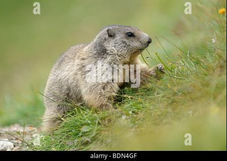 Alpen-Murmeltier (Marmota Marmota) auf Nahrungssuche - Stockfoto