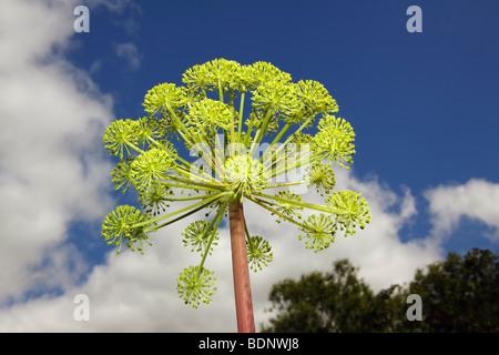 Garten-Angelica (Angelica Archangelica) (Angelica Officinalis), Heilpflanze - Stockfoto