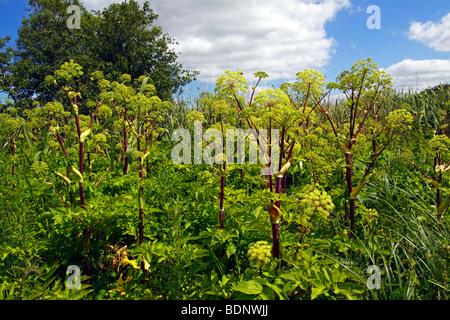 Garten-Angelica (Angelica Archangelica) (Angelica Officinalis), Heilpflanze, Auwald am Ufer des Flusses Peen - Stockfoto