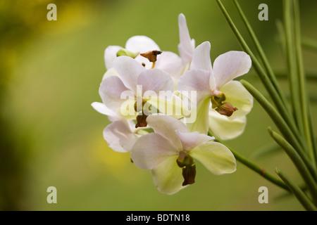 Orchideen im tropischen regenwald  Dendrobium Nobile Orchideen und Phalaenopsis-Orchideen Stockfoto ...