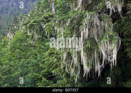 Westamerikanische Hemlocktanne & Bartflechten / Western Hemlock & Bart Flechte / Tsuga Heterophylla & Usnea Longissima - Stockfoto