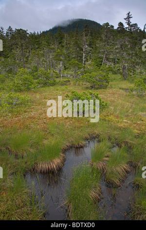 Seeaufstiegen & Bartflechten / Pines & Bart Flechte / Pinus Arten & Usnea Longissima - Stockfoto