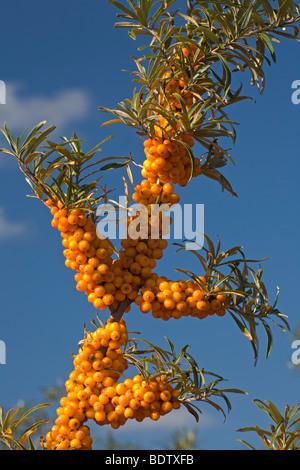 Gemeiner Sanddorn / Sanddorn / Hippophae Rhamnoides - Stockfoto