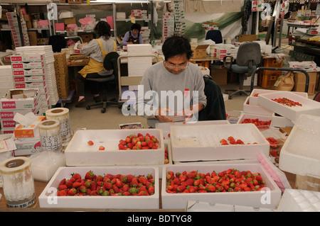 Erdbeer-Plantage, Erdbeeren sind einzeln verpackt für Einzelhandel, Shizuoka Präfektur, Japan, Asien - Stockfoto
