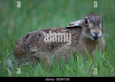 Hase - Braun (Feldhasen - Leveret) / Lepus Europaeus - Stockfoto