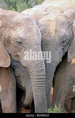 Familie Gruppe von afrikanischen Elefanten Loxodonta Africana in Addo National Park, Südafrika - Stockfoto