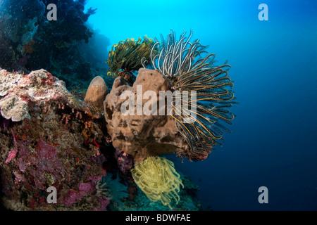 Gelbe Feder Star Crinoid im Korallenriff (Comanthina Schlegeli) - Stockfoto