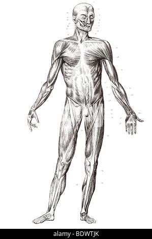 die menschlichen Muskel Struktur vordere Verkleidung Stockfoto, Bild ...