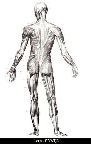 die menschlichen Muskel Struktur hintere Verkleidung Stockfoto, Bild ...