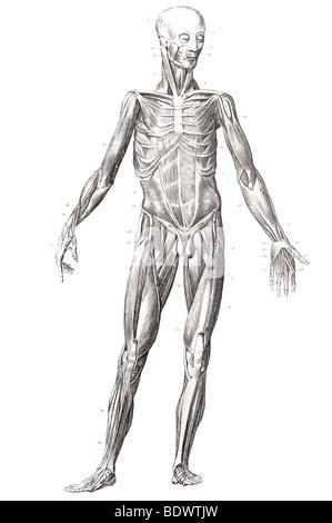 menschlichen Muskel Struktur vordere Verkleidung Stockfoto, Bild ...