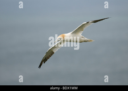 Basstölpel Morus Bassanus Erwachsenen im Flug. - Stockfoto