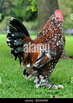 Ein schickes Huhn mit bunten Federn - Stockfoto