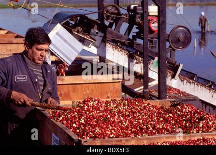 Fraser Valley, BC, Britisch-Kolumbien, Kanada - Arbeiter ernten Cranberries aus Förderband zu Kisten auf Cranberry - Stockfoto