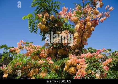 Hawaii-Dusche-Baum in voller Blüte mit rosa Blüten Stockfoto, Bild ...