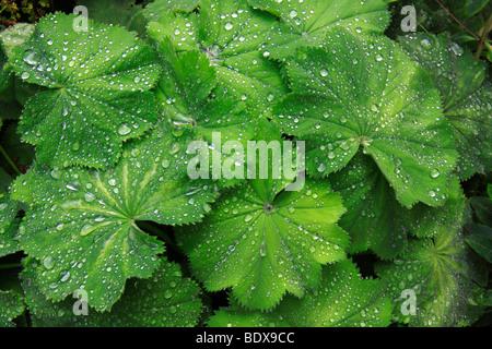 Frauenmantel (Alchemilla), grüne Blätter mit Wasser Tropfen, Guttation Flüssigkeit - Stockfoto
