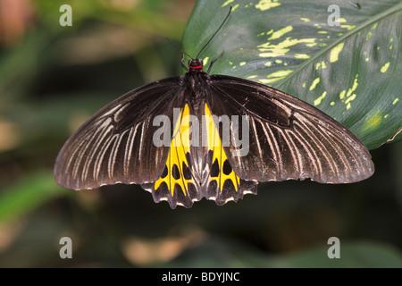 Gemeinsamen Birdwing Schmetterling, Troides Helena cerberus - Stockfoto
