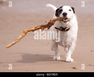 Hund mit stick - Stockfoto
