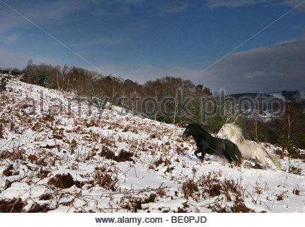 Diese Ponys schien zu glauben, dass die frischen Schneefeld war ein Spielplatz, der Schnee schien zu bringen, ihre - Stockfoto