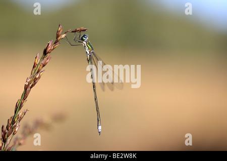 Emerald Damselfly (Lestes Sponsa), Männlich, an einer Pflanze - Stockfoto
